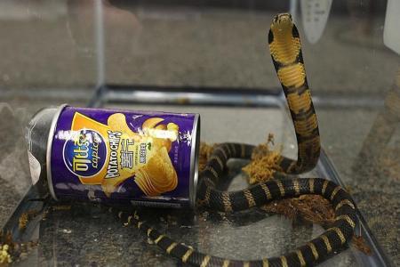 King cobra flavoured chips