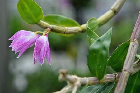 Rare hybrid orchid created