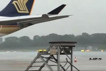 Otters spotted on Changi Airport tarmac
