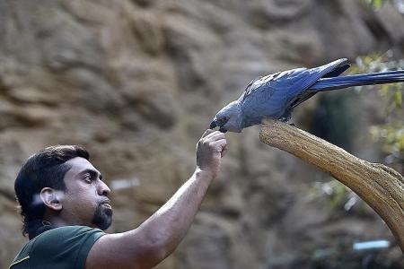 World's rarest blue macaws on show at Bird Park