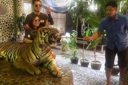 Outrage after tiger forced to roar for tourists at Thai Zoo