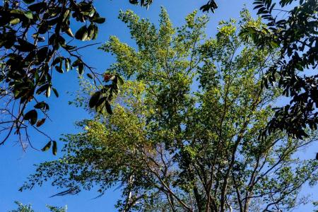 Pulling 'magic tree' back from near extinction in Colombia
