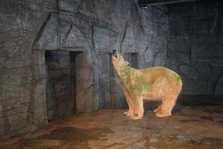 Singapore Zoo's polar bear Inuka is dying