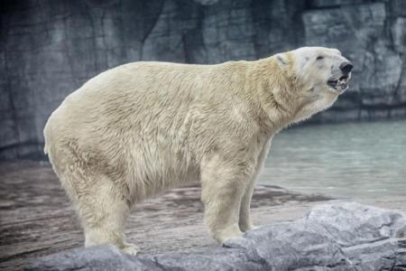 Inuka, the world's only 'tropical polar bear', dies in Singapore