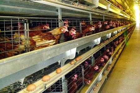 Record $26.9m fine for price-fixing poultry suppliers