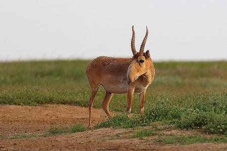 Lack of awareness over antelope horn product
