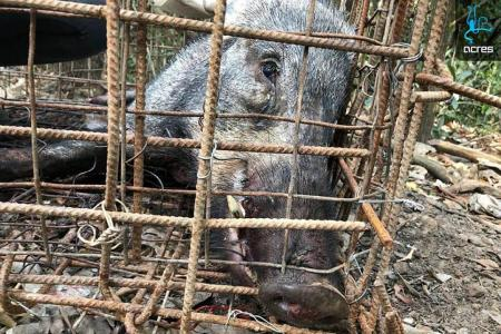 Boar dies after being caught by illegal trap