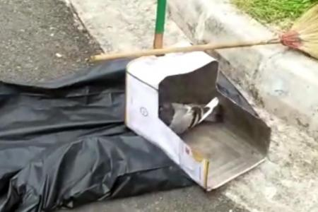 Alleged animal cruelty during pigeon culling operation in Hougang