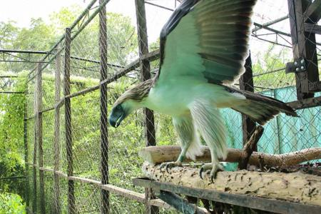 Singapore to welcome rare Philippine eagles