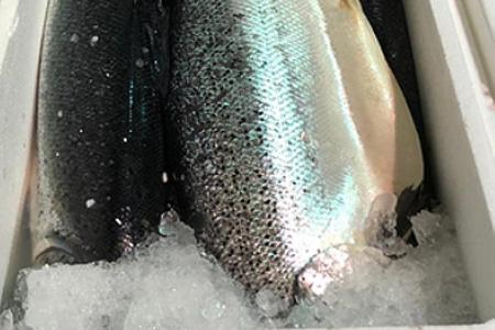 Norwegian salmon recalled after bacteria found
