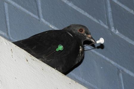 Pigeons attacked with blow darts, Acres appeals for info