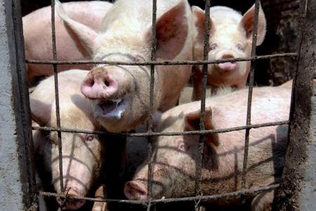 China scientists find new swine flu strain that capable of triggering pandemic
