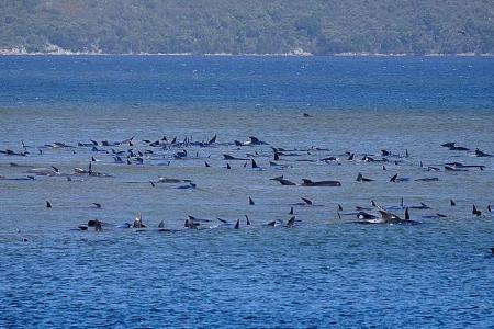 At least 380 whales die in mass stranding on Tasmanian coast