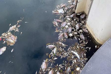 Sentosa waterway turns pinkish-purple, dead fish found near the banks
