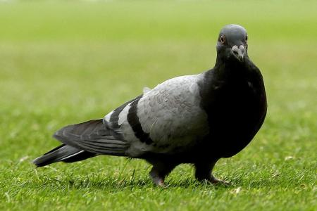 Missing US pigeon shows up in Melbourne, becomes fugitive