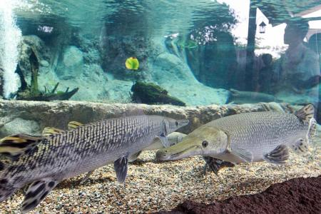 'Monster' fish can grow to monstrous sizes: Experts