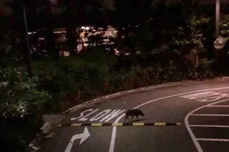 Punggol wild boar rampage sparks fears for kids' safety