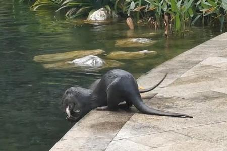 12 otters frolic in condominium pool, then fill up on fish from pond