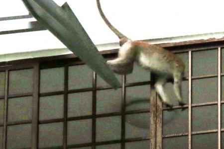Spike in monkey attacks in Segar Road