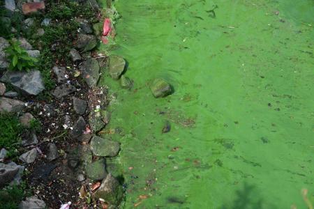 Singapore River turns green