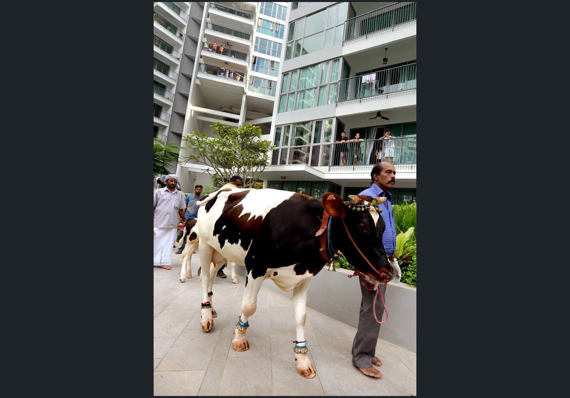 Cow and calf walk through 14th-storey flat at Singapore condo