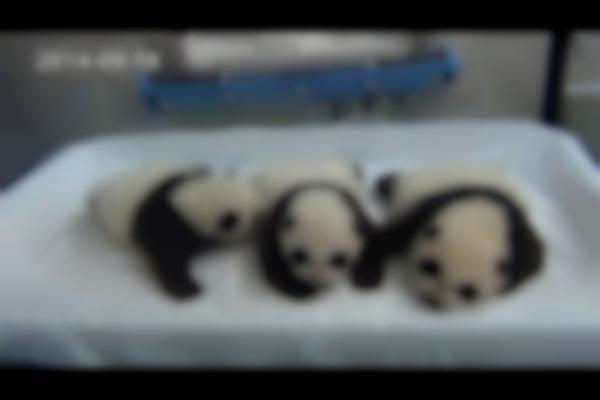 Panda Triplets Open Eyes