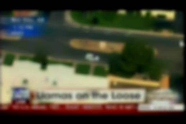Llamas On The Loose in Sun City, Arizona - Shepard Smith Reporting Part 1