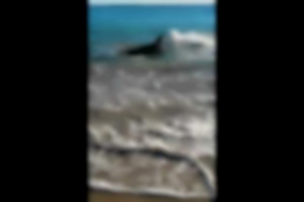White Pointer Shark swims onto Coronation beach Geraldton, Western Australia. Choked on sea lion.