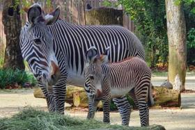 Singapore's Zoo latest addition is an endangered Grevy's zebra foal born on Sept 30.