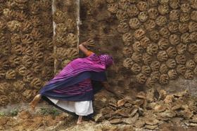 HARD JOB: A woman pastes cow dung cakes on a wall for drying in the northern Indian city of Allahabad. These dung cakes are used as fuel. - PHOTO: REUTERS