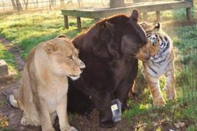 A bear, a lion and a tiger have formed a strong bond since they were rescued from a drug dealer's basement in 2001.