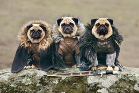 Pugs Bono, Blue and Roxy dressed up as Jon Snow, Ned Stark and Bran Stark.
