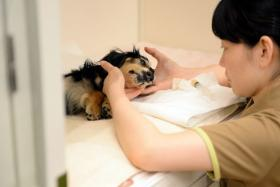 A caretaker looking after a 12-year-old bedridden dog at a home for ageing pets in Chiba, suburb of Tokyo. A vet is on call 24 hours a day and animals are kept active with a range of exercises and healthy foods.