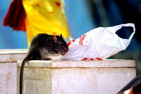 Olongapo city residents are being paid 10 pesos (28 cents) for each dead adult rat and five pesos for each dead young rat they turn in.