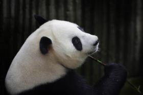 File picture of the giant panda Ai Hin holding a bamboo twig at the Chengdu Giant Panda Breeding Research Centre in Chengdu, in southwest China's Sichuan province.