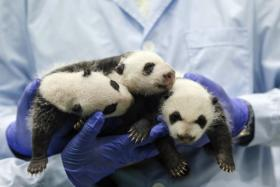 The panda triplets at Chimelong Safari Park in Guangzhou, Guangdong province are now one month old.