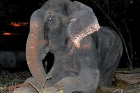 Raju the elephant cried when he was released from captivity. His owners have launched a legal battle to get him back.