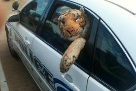 A woman in the US called the police when she found this stuffed tiger lying by the roadside.