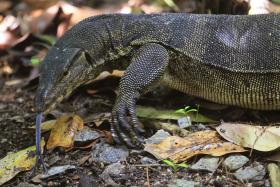 File photo of a monitor lizard