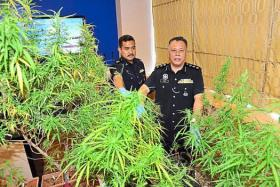 His passion for gardening led to him growing more than flowers - and police held the primary school teacher after finding marijuana plants behind a house in Selangor.