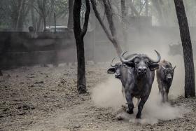 File photo of buffaloes.