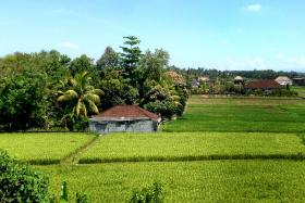 File photo of a rice field in Bali. An Australian was found dead after locals came across the man's body in a trench at the edge of a rice field.