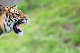 File photo of a tiger. Phuket's Tiger Kingdom closed its Big Cat enclosure on Thursday in the wake of a mauling incident involving an Australian tourist.