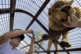 A child inside a cage taking a photo of a lion being fed at the Safari Lion Zoo in Rancagua, Chile, on Oct 30.
