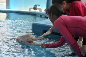 NOW AND THEN: (Above) Han the dolphin receiving treatment in the Underwater World Singapore medical pool on Oct 17