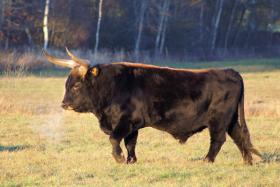 A Heck Cattle bull