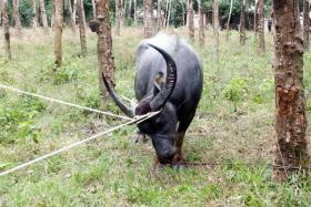 The rope used to secure the buffalo had been trapped in some tree roots, causing the animal to go into a frenzy.