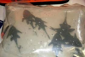 CONTRABAND: Australian customs officers found 20 plastic bags said to contain live and dead endangered fish concealed in Alex Chang Kuok Weai's luggage when he arrived at the Adelaide Airport on a flight from Singapore on Feb 2.