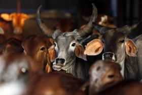 Rescued cattle are seen at a cow shelter, run by an arm of the Hindu nationalist group Vishwa Hindu Parishad, in a village in the  western Indian state of Maharashtra