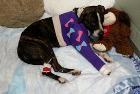 Cabela the dog was rescued after being shot and tied to train tracks.